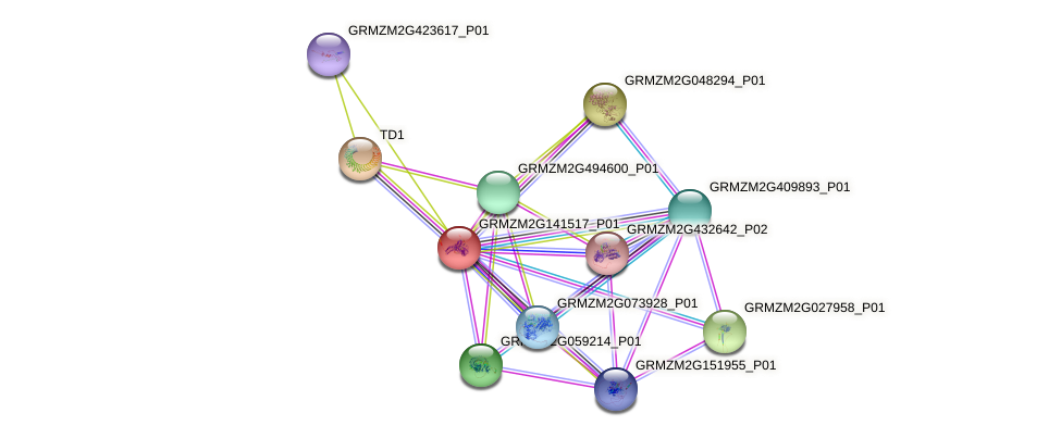 GRMZM2G141517_P01 protein (Zea mays) - STRING interaction network