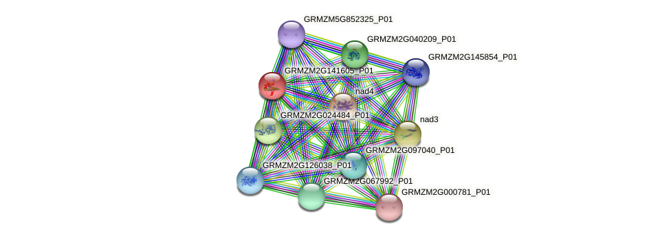 GRMZM2G141605_P01 protein (Zea mays) - STRING interaction network