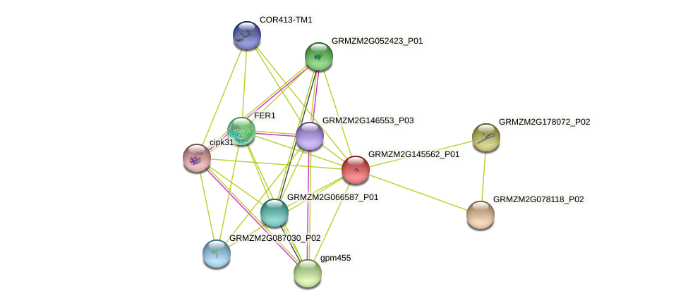 GRMZM2G145562_P01 protein (Zea mays) - STRING interaction network