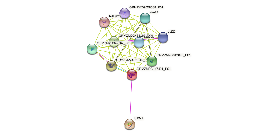 GRMZM2G147491_P01 protein (Zea mays) - STRING interaction network