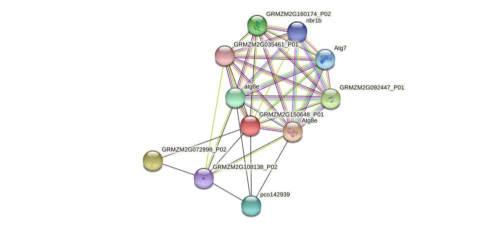 GRMZM2G150648_P01 protein (Zea mays) - STRING interaction network