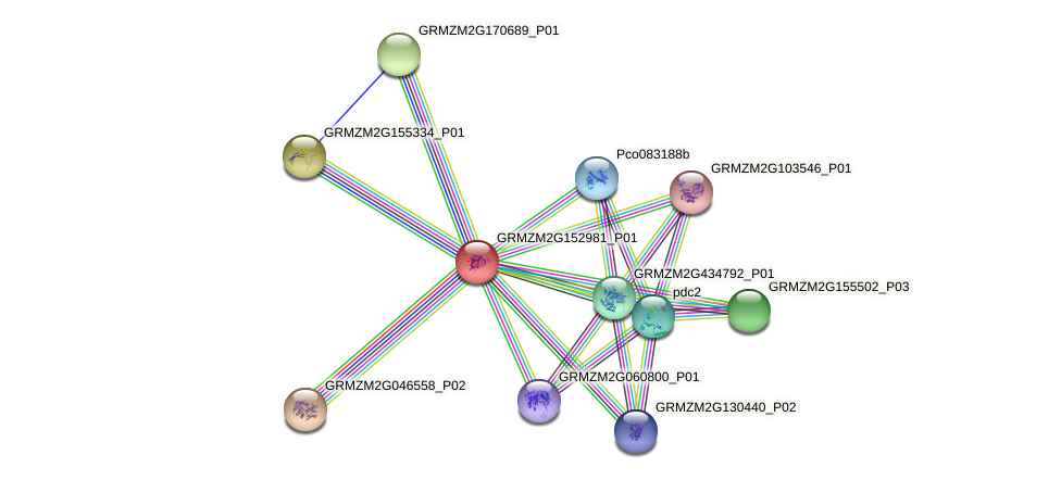 GRMZM2G152981_P01 protein (Zea mays) - STRING interaction network