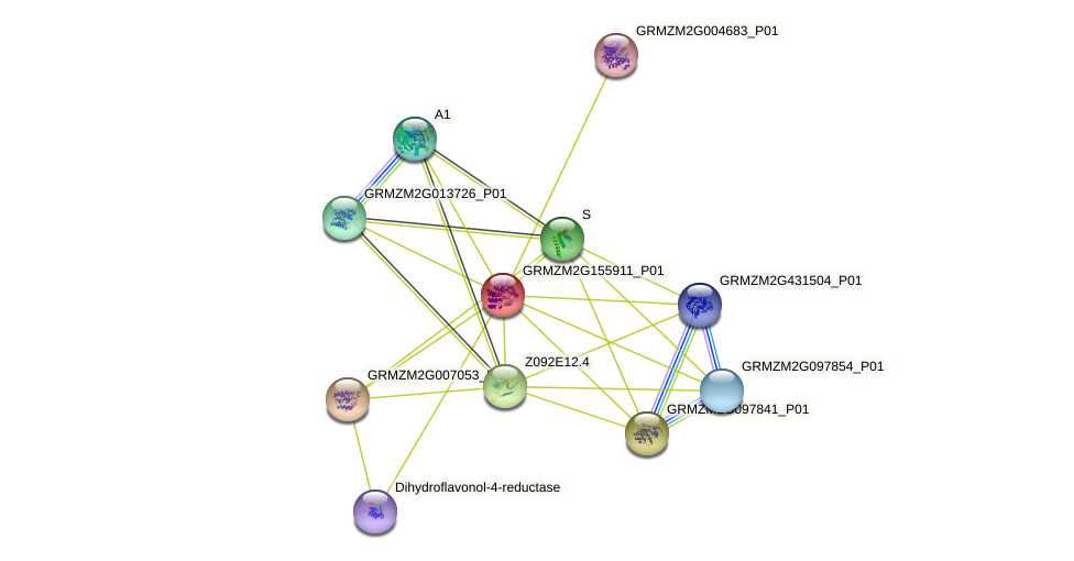 GRMZM2G155911_P01 protein (Zea mays) - STRING interaction network