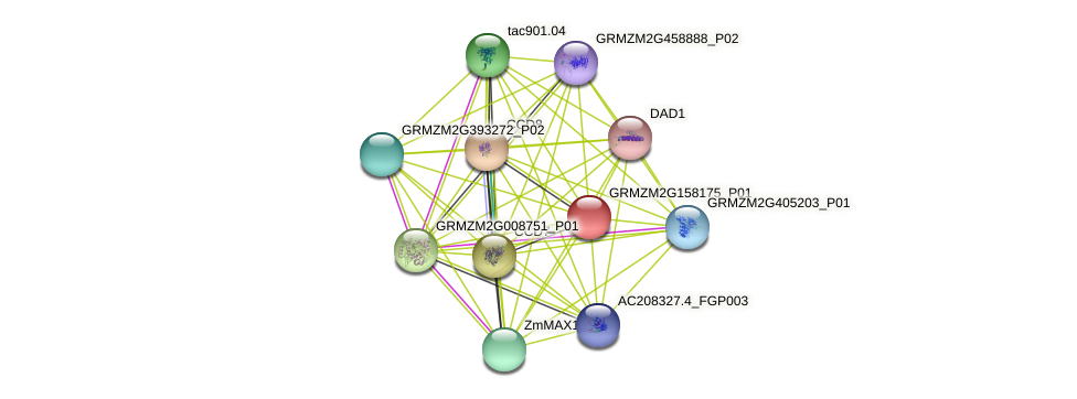 GRMZM2G158175_P01 protein (Zea mays) - STRING interaction network
