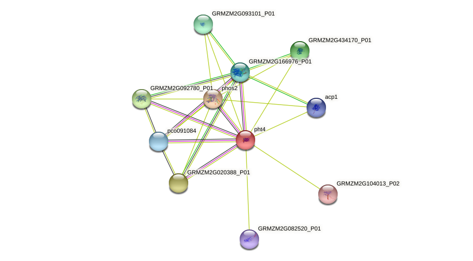 GRMZM2G159075_P01 protein (Zea mays) - STRING interaction network