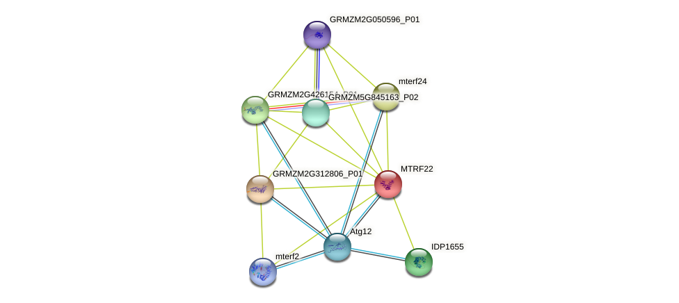 mTRF22 protein (Zea mays) - STRING interaction network