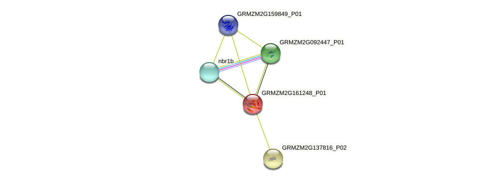 GRMZM2G161248_P01 protein (Zea mays) - STRING interaction network