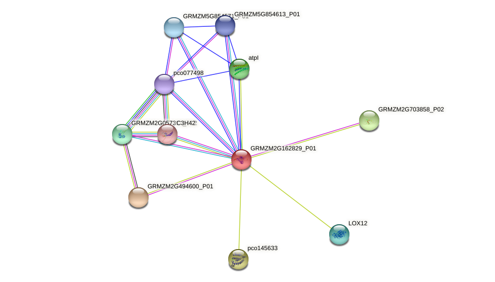 GRMZM2G162829_P01 protein (Zea mays) - STRING interaction network