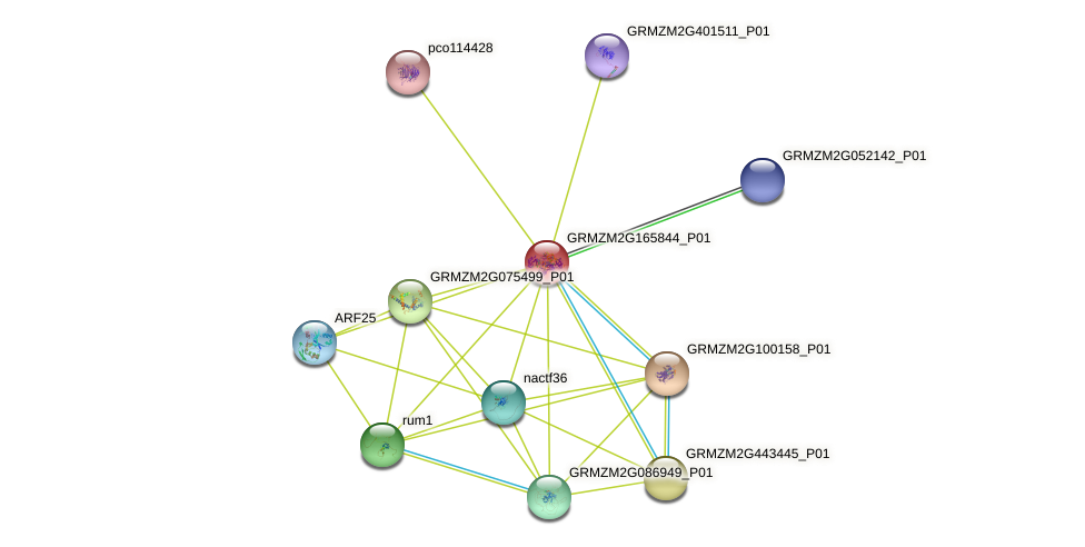 GRMZM2G165844_P01 protein (Zea mays) - STRING interaction network