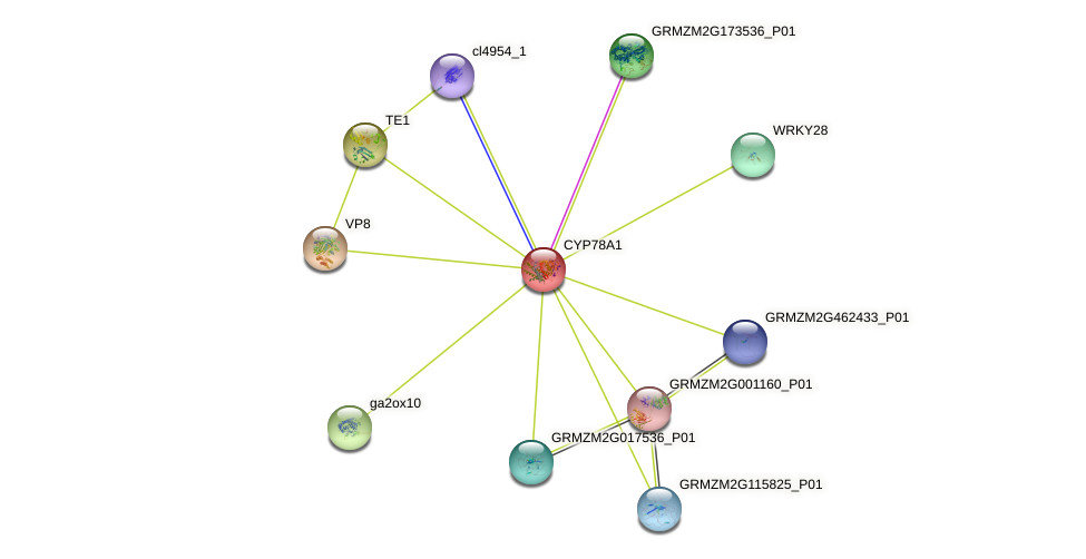 cyp8 protein (Zea mays) - STRING interaction network