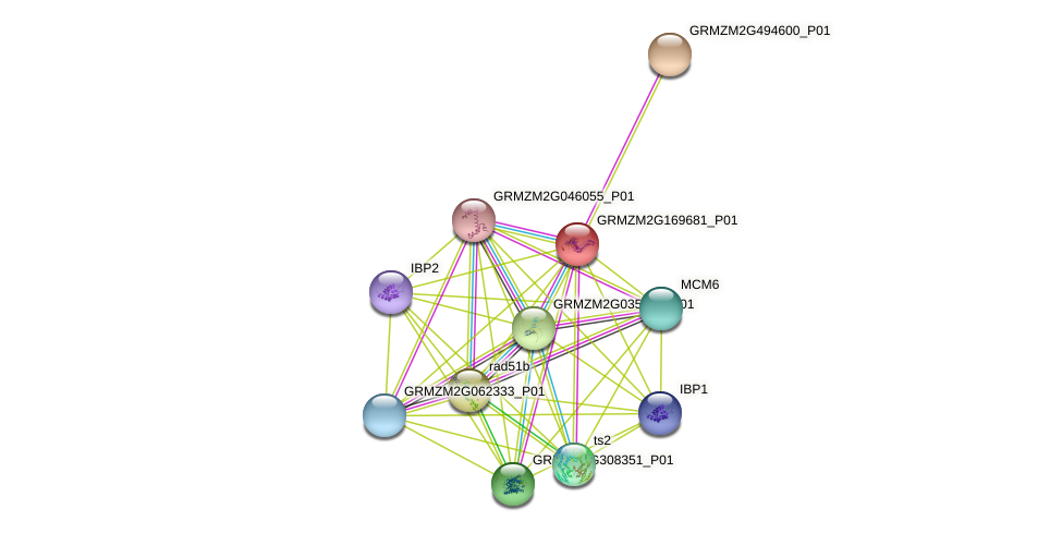 GRMZM2G169681_P01 protein (Zea mays) - STRING interaction network