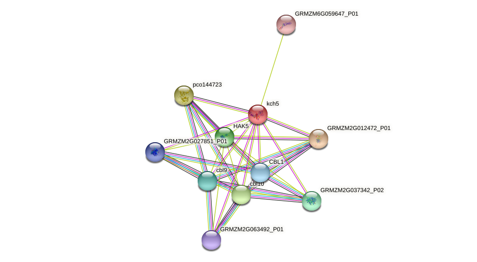 kch5 protein (Zea mays) - STRING interaction network