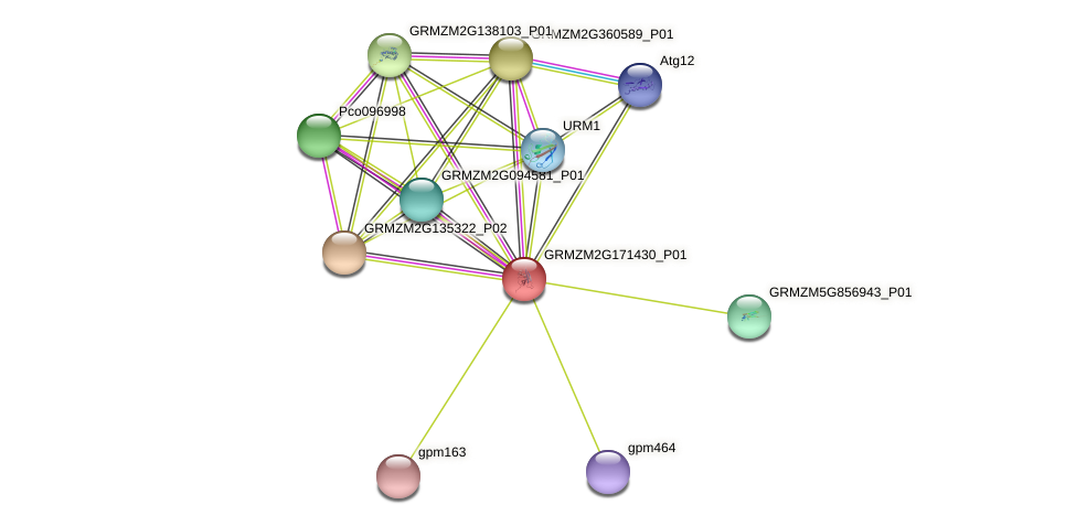 GRMZM2G171430_P01 protein (Zea mays) - STRING interaction network