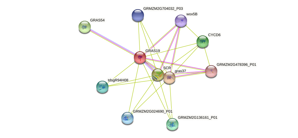 GRAS19 protein (Zea mays) - STRING interaction network