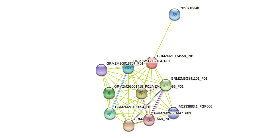 GRMZM2G174558_P01 protein (Zea mays) - STRING interaction network