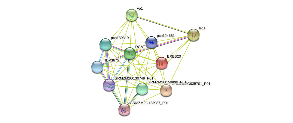 EREB20 protein (Zea mays) - STRING interaction network