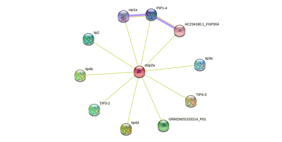 SIP2-1 protein (Zea mays) - STRING interaction network