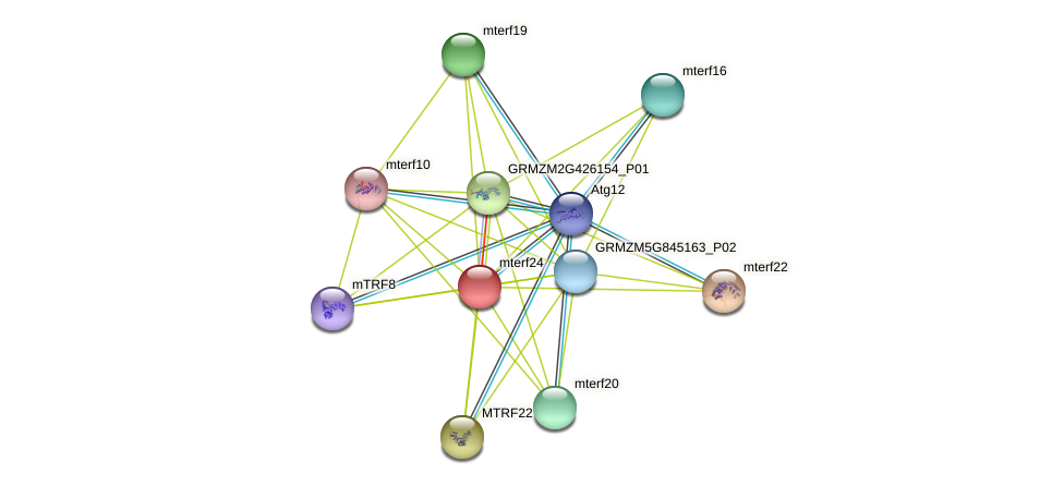 mterf24 protein (Zea mays) - STRING interaction network