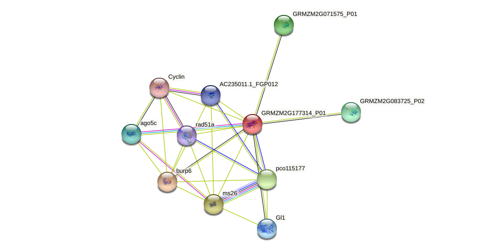 GRMZM2G177314_P01 protein (Zea mays) - STRING interaction network