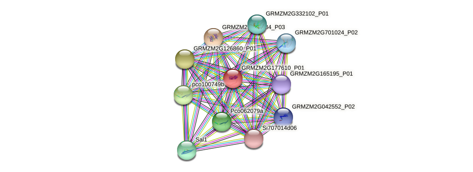 GRMZM2G177610_P01 protein (Zea mays) - STRING interaction network