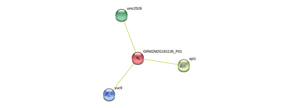 GRMZM2G181135_P01 protein (Zea mays) - STRING interaction network