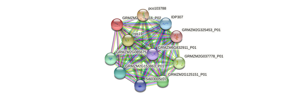 GRMZM2G305216_P02 protein (Zea mays) - STRING interaction network