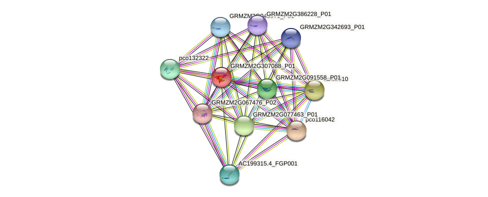 GRMZM2G307088_P01 protein (Zea mays) - STRING interaction network