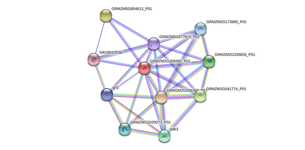 GRMZM2G308365_P01 protein (Zea mays) - STRING interaction network
