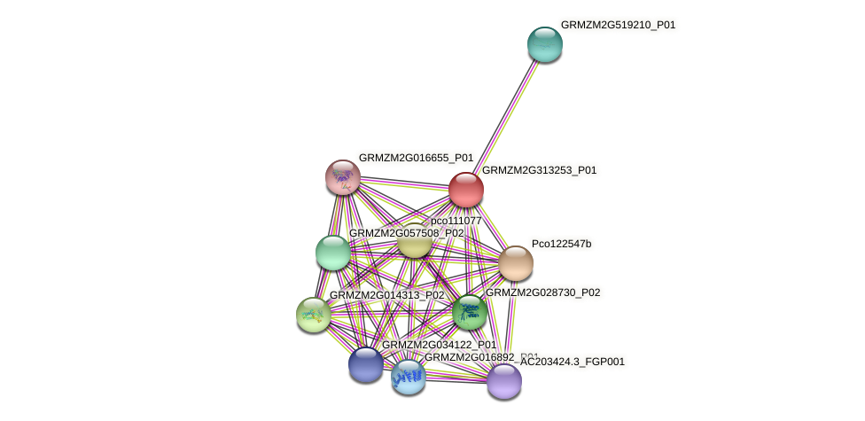 GRMZM2G313253_P01 protein (Zea mays) - STRING interaction network
