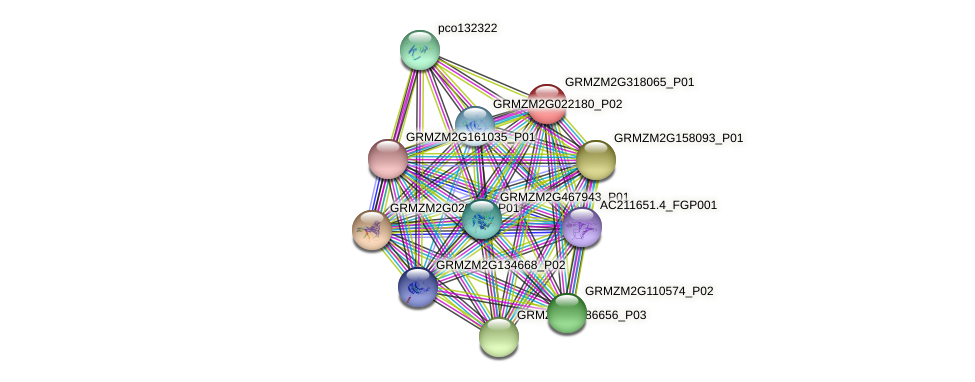 GRMZM2G318065_P01 protein (Zea mays) - STRING interaction network