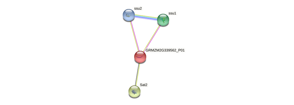 GRMZM2G339562_P01 protein (Zea mays) - STRING interaction network