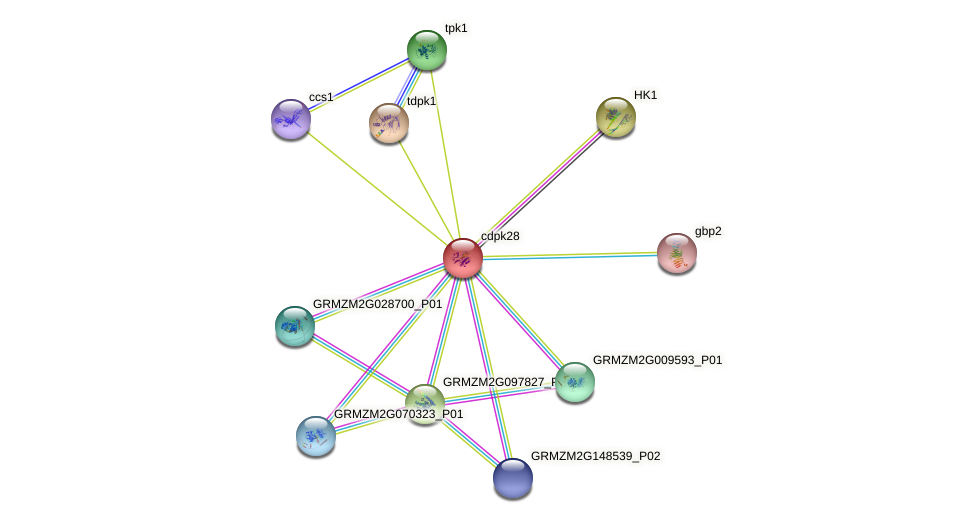 GRMZM2G340224_P01 protein (Zea mays) - STRING interaction network