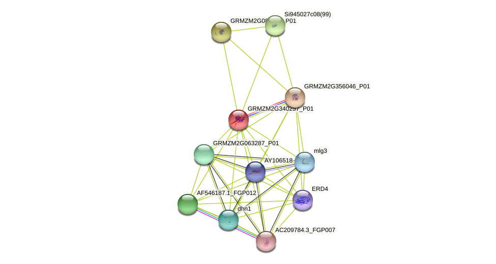 GRMZM2G340257_P01 protein (Zea mays) - STRING interaction network