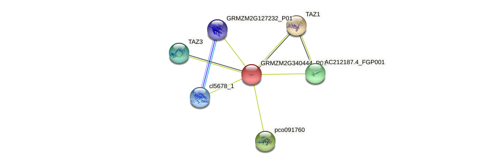 Zm.131091 protein (Zea mays) - STRING interaction network