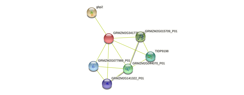 GRMZM2G341770_P01 protein (Zea mays) - STRING interaction network