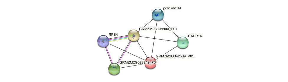 GRMZM2G342539_P01 protein (Zea mays) - STRING interaction network
