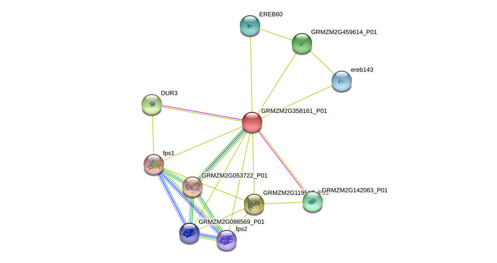 GRMZM2G358161_P01 protein (Zea mays) - STRING interaction network