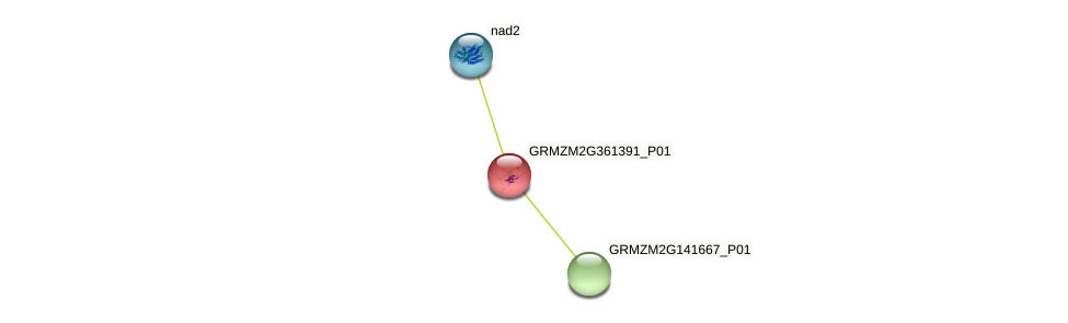 GRMZM2G361391_P01 protein (Zea mays) - STRING interaction network