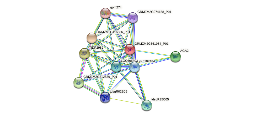 GRMZM2G361984_P01 protein (Zea mays) - STRING interaction network