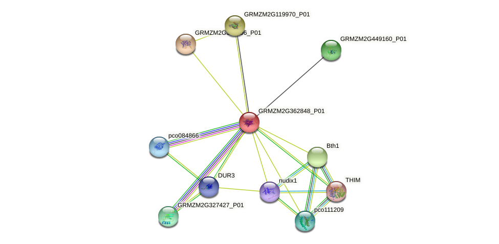 GRMZM2G362848_P01 protein (Zea mays) - STRING interaction network
