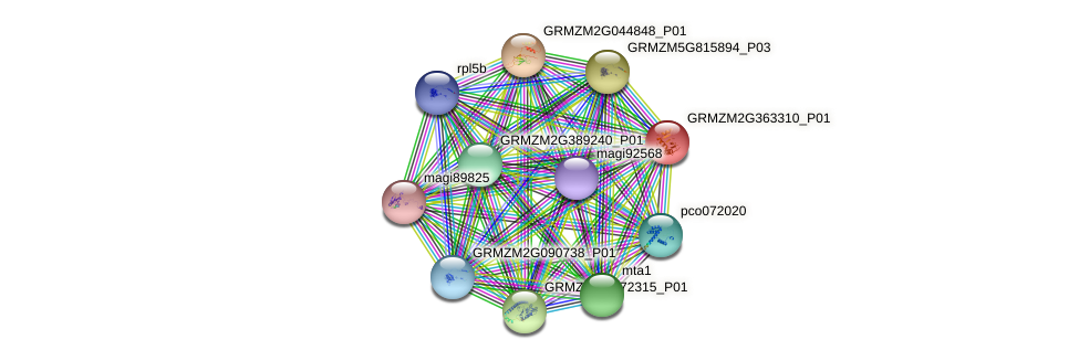 GRMZM2G363310_P01 protein (Zea mays) - STRING interaction network