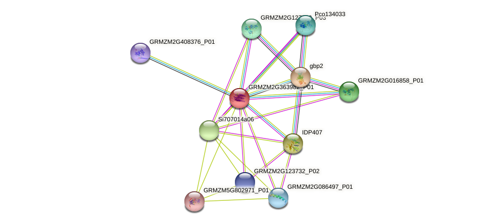 GRMZM2G363982_P01 protein (Zea mays) - STRING interaction network