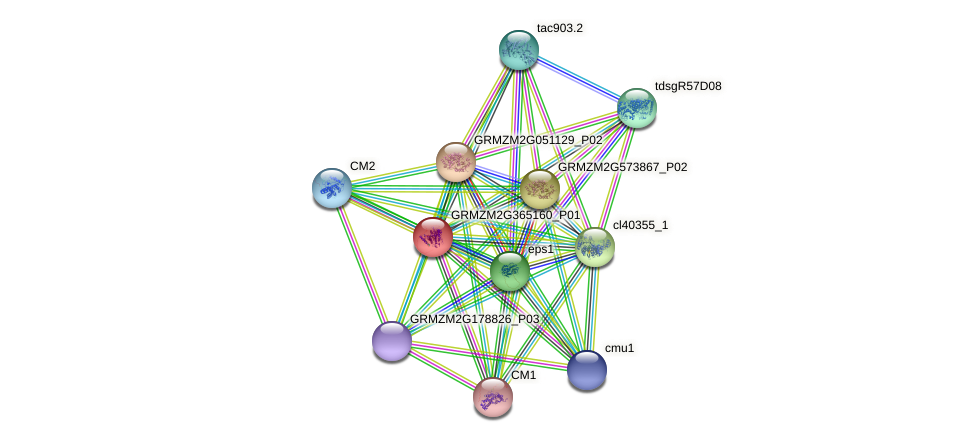 GRMZM2G365160_P01 protein (Zea mays) - STRING interaction network