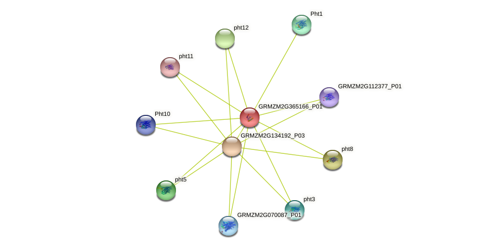 GRMZM2G365166_P01 protein (Zea mays) - STRING interaction network