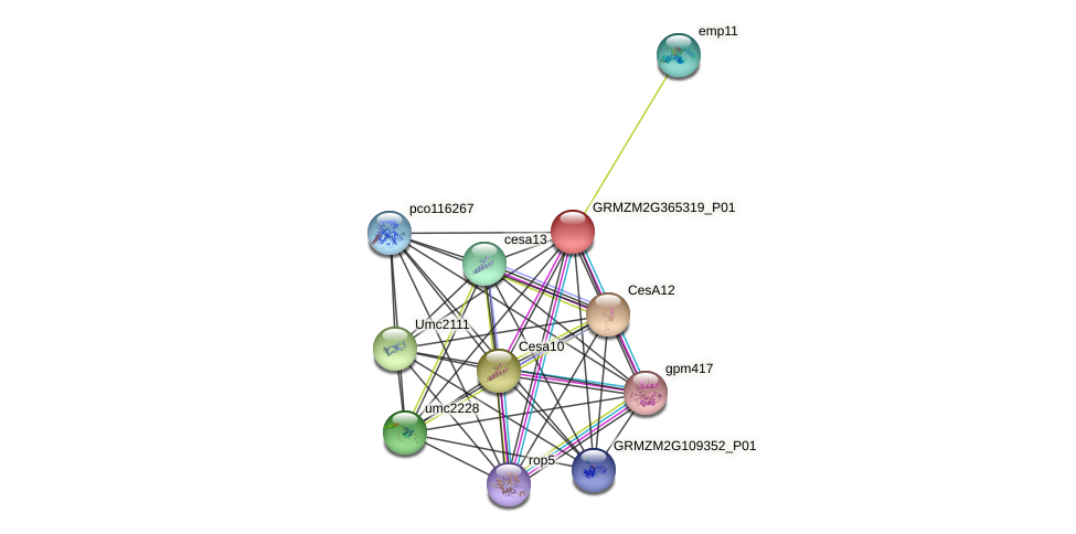 GRMZM2G365319_P01 protein (Zea mays) - STRING interaction network