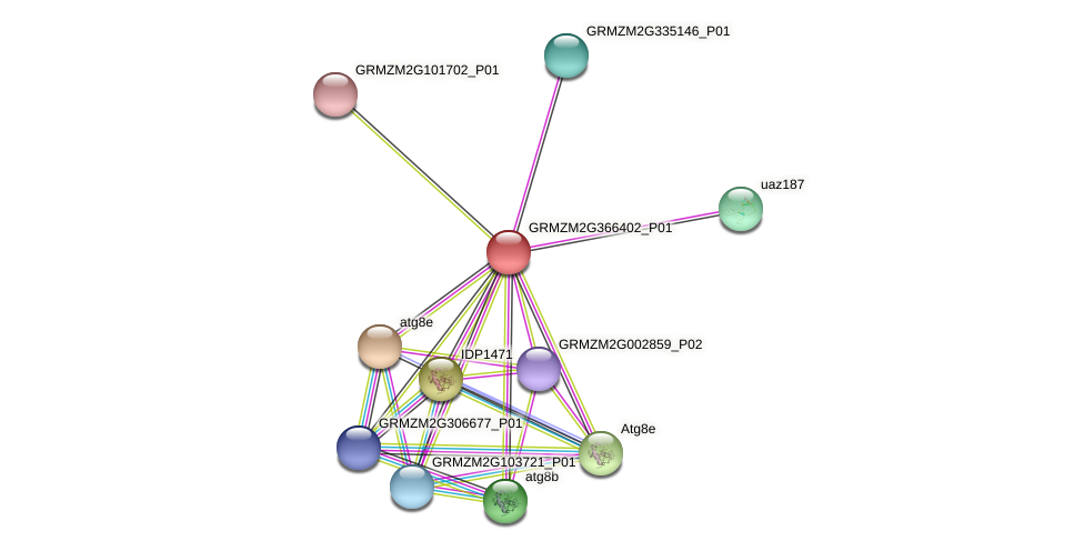 GRMZM2G366402_P01 protein (Zea mays) - STRING interaction network
