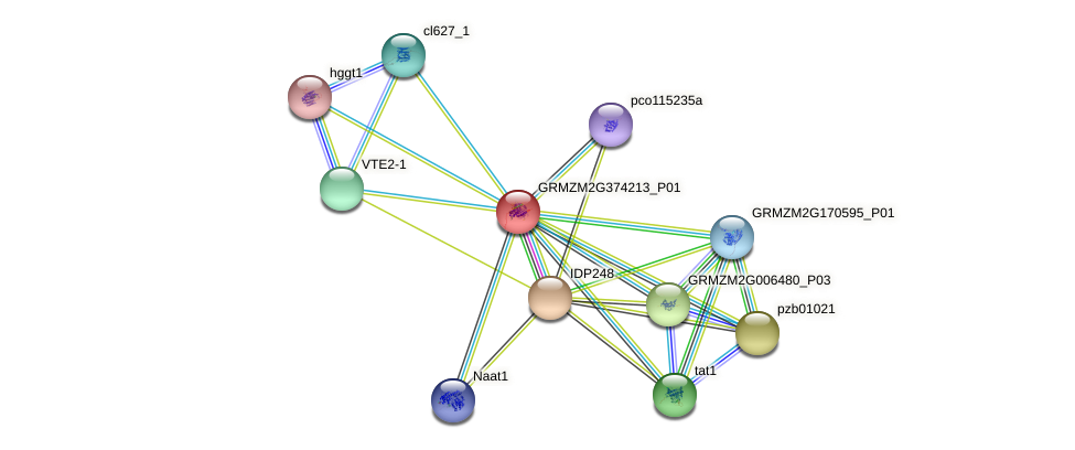 GRMZM2G374213_P01 protein (Zea mays) - STRING interaction network