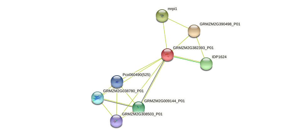 GRMZM2G382393_P01 protein (Zea mays) - STRING interaction network