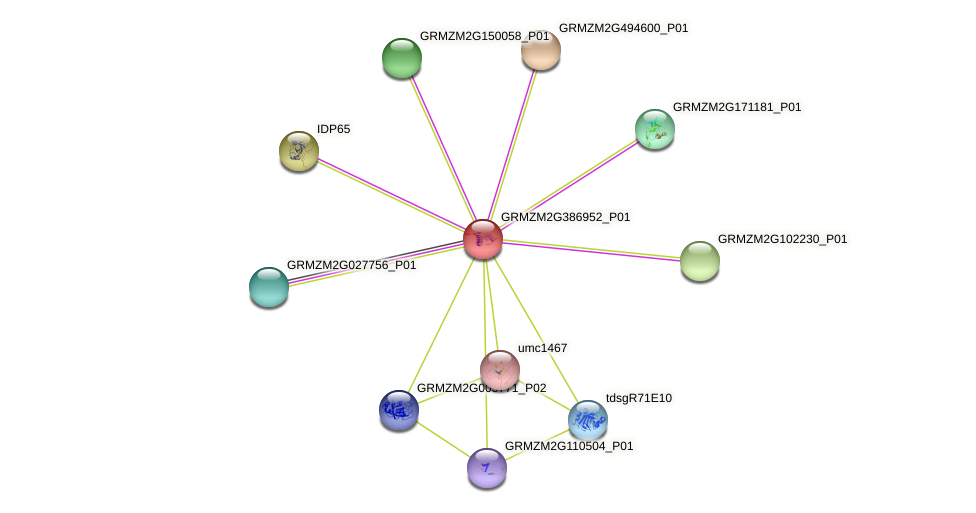 GRMZM2G386952_P01 protein (Zea mays) - STRING interaction network