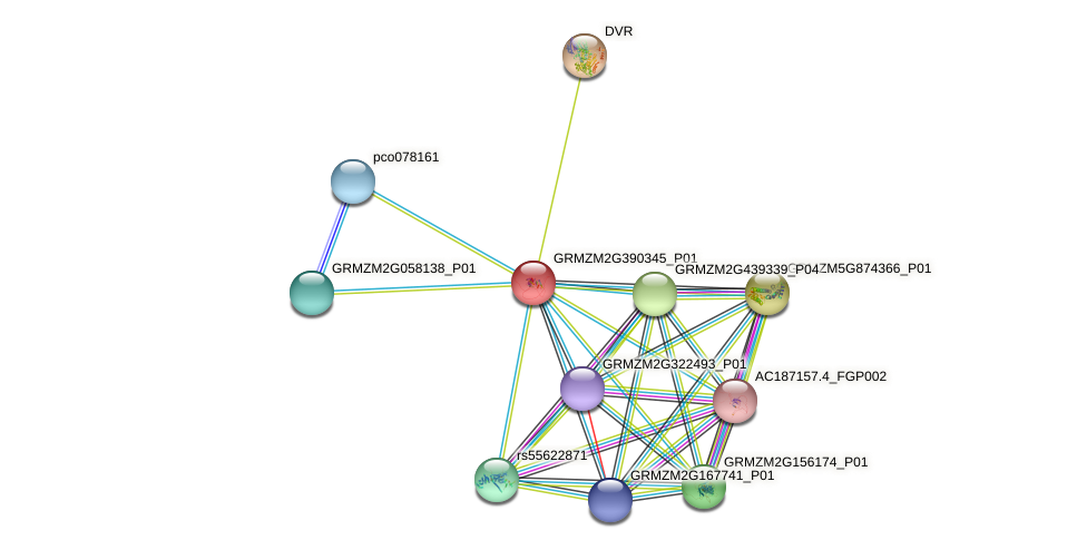 GRMZM2G390345_P01 protein (Zea mays) - STRING interaction network